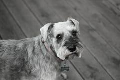 Schnauzer i svartvitt nelson Arkivfoto