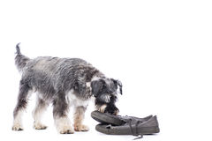 Schnauzer investigating an old pair of shoes Royalty Free Stock Photos