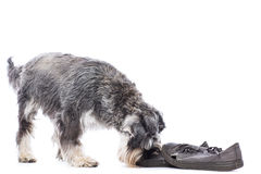 Schnauzer investigating an old pair of shoes Royalty Free Stock Images