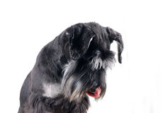 Schnauzer isolated Royalty Free Stock Image
