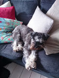 Schnauzer. A lazy schnauzer laying on a sofa and cushions stock photos
