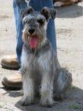 Schnauzer, le chien le plus amical, le plus loyal et mignon photographie stock libre de droits