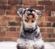 Schnauzer looking up Stock Image
