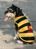 Schnauzer minature. Schnauzer in a yellow & black striped jacket Royalty Free Stock Images