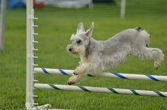 Schnauzer miniatura de plata en un ensayo de la agilidad del perro Fotos de archivo