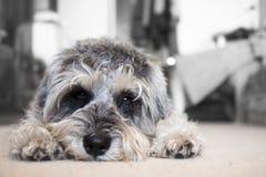 Schnauzer miniatura del perrito imagen de archivo libre de regalías