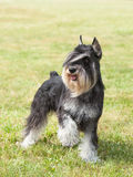 Schnauzer miniatura del perro criado en línea pura imagen de archivo