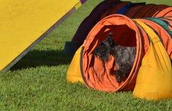 Schnauzer miniatura negro en un ensayo de la agilidad del perro Imágenes de archivo libres de regalías