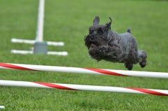 Schnauzer miniatura negro en un ensayo de la agilidad del perro Fotos de archivo libres de regalías