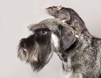 Schnauzer miniatura y rata Foto de archivo libre de regalías