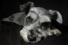 Schnauzer miniature Photographie stock