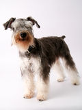Schnauzer miniature Photo stock