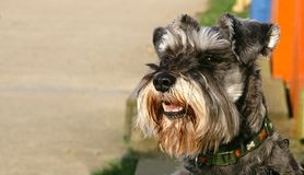 Schnauzer. Miniature Schnauzer on the beach looking down the footpath royalty free stock image