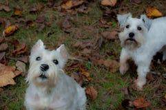 Schnauzer miniature blanc vigilant avec le chien blanc à l'arrière-plan Photographie stock
