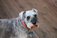 Schnauzer Nelson hanging on his deck Stock Photo