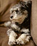 Schnauzer no sofá Imagem de Stock Royalty Free
