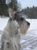 Schnauzer normal en hiver Photos stock