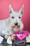 Schnauzer with orchid flowers Royalty Free Stock Photography