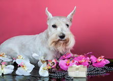 Schnauzer with orchid flowers Royalty Free Stock Photo