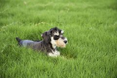 Schnauzer. Originated in Germany in fifteenth Century, it belongs to the terrier Terrier, is only free of British descent varieties. In life we are familiar Stock Image