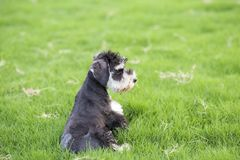 Schnauzer. Originated in Germany in fifteenth Century, it belongs to the terrier Terrier, is only free of British descent varieties. In life we are familiar Stock Photo