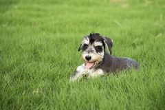 Schnauzer. Originated in Germany in fifteenth Century, it belongs to the terrier Terrier, is only free of British descent varieties. In life we are familiar stock images
