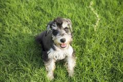Schnauzer. Originated in Germany in fifteenth Century, it belongs to the terrier Terrier, is only free of British descent varieties. In life we are familiar royalty free stock photo