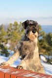 Schnauzer outdoors on a winter day Royalty Free Stock Images
