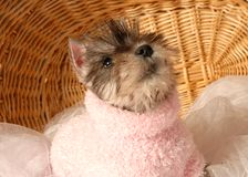 Schnauzer in pink sweater Royalty Free Stock Images