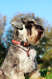 Schnauzer portrait Royalty Free Stock Photos