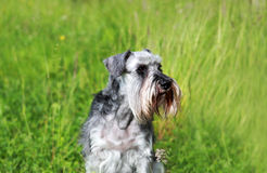 Schnauzer portrait Royalty Free Stock Images
