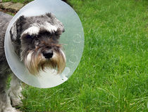 Schnauzer with Protective Collar Royalty Free Stock Image