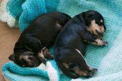 Schnauzer puppies. Two cute newborn miniature schnauzer puppies sleeping on a colourful blanket; their eyes are still closed stock photo