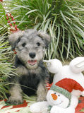 Schnauzer puppy. Purebred schnauzer puppy with christmas decoration Royalty Free Stock Photography