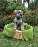 Schnauzer puppy in basket Royalty Free Stock Photo