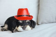Schnauzer puppy with Christmas hat. Close up shot on the adorable face of a  cute miniature schnauzer puppy wearing a small Christmas hat Stock Photos