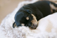 Schnauzer puppy. Close up on the adorable face of a cute newborn miniature schnauzer puppy sleeping on a wool blanket Royalty Free Stock Photo