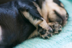 Schnauzer puppy. Close up on the adorable paws of a cute newborn miniature schnauzer puppy sleeping on a wool blanket Royalty Free Stock Photography