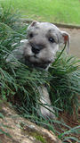 Schnauzer puppy in grass. Six weeks old pure breed miniature schnauzer puppy hiding in the grass royalty free stock images