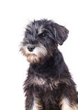 Schnauzer puppy isolated. Curious adorable schnauzer puppy isolated Royalty Free Stock Image