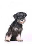 Schnauzer puppy isolated. Looking curious Royalty Free Stock Image