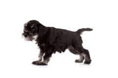 Schnauzer Puppy Stock Photos