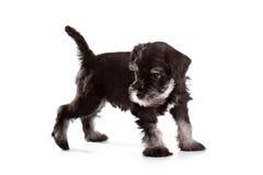 Schnauzer Puppy Stock Image