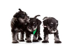 Schnauzer Puppy Stock Photo