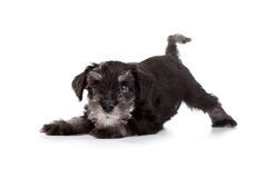 Schnauzer Puppy Royalty Free Stock Images