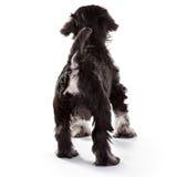 Schnauzer Puppy. Miniature Schnauzer Puppy over White Background Royalty Free Stock Image