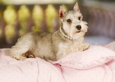 Schnauzer Puppy in pearls Royalty Free Stock Photography