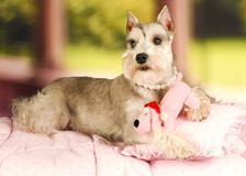 Schnauzer Puppy in pearls and pink dog toy Royalty Free Stock Image