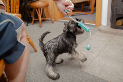 Schnauzer puppy at play. Stock Photo