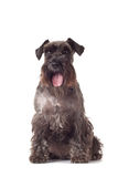 Schnauzer puppy sitting Royalty Free Stock Photography